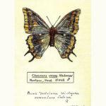 La breve vita delle farfalle