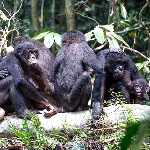 matriarche bonobo in ambiente naturale - si spulciano secondo un rigido rituale gerarchico